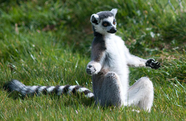 These Animals trying Yoga is the Funniest Thing Lemur