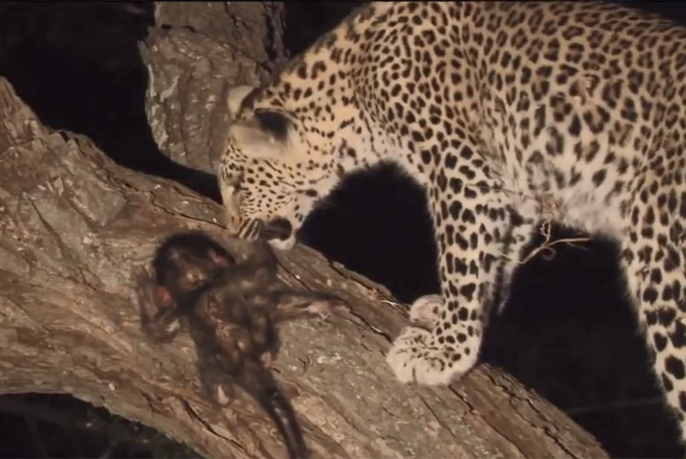 Leopard Killed A Baboon Then Discovered Its Baby, What She Did Next Is Heartwarming!